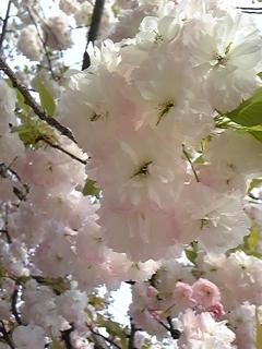 4月16日桜ノ宮造幣局 012.JPG