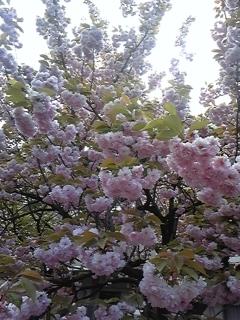 4月16日桜ノ宮造幣局 017.JPG