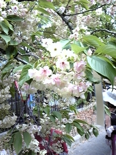 4月16日桜ノ宮造幣局 020.JPG